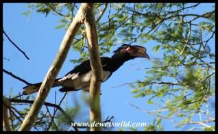 Trumpeter Hornbill