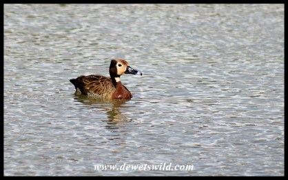 White-faced Whistling Duck at Kumasinga, uMkhuze