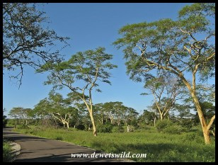 Fever trees in Umkhuze Game Reserve