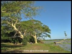 Fever trees