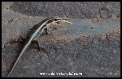 Striped Skink enjoying a grasshopper meal