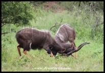 Dueling nyala bulls