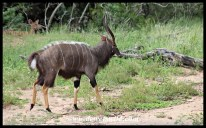 Adult nyalas use ritualised posturing to try and intimidate one another