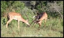 Impala standoff