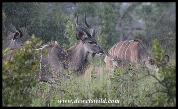 Kudu family caught in the rain