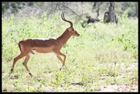 Impala ram running to meet an intruder