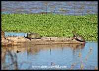 Serrated Terrapins soaking up the sun at Nsumo Pan