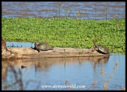 Marsh Terrapins soaking up the sun at Nsumo Pan