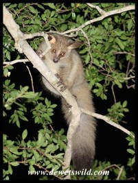 Thick-tailed Bushbabies visited our tent at uMkhuze every night