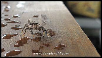 Jumping Spider navigating the raindrops in one of the hides