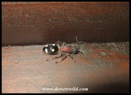 Velvet Ant female - This flightless wasp mimics an ant whle searching for unsuspecting prey.