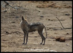 Jackals suffering from mange