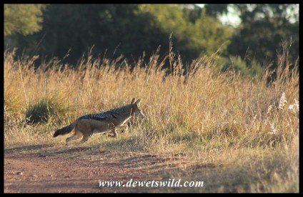 Black-backed Jackal jumping after a rodent in long grass