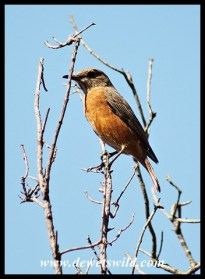 Cape Rock-Thrush (female)