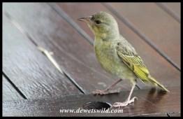Cape Weaver juvenile