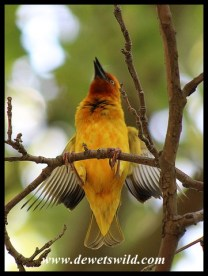 Cape Weaver male displaying