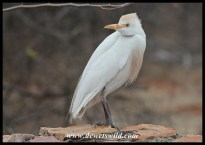 Western Cattle Egret
