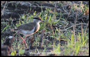 Crowned Lapwing chick