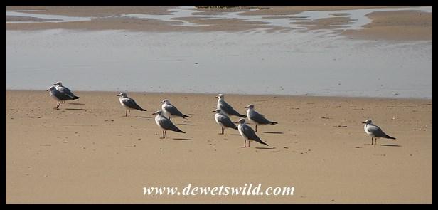 Grey-headed Gulls