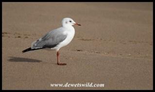 Grey-headed Gull in non-breeding plumage