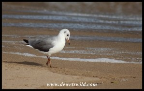 Grey-headed Gull in non-breeding plumage