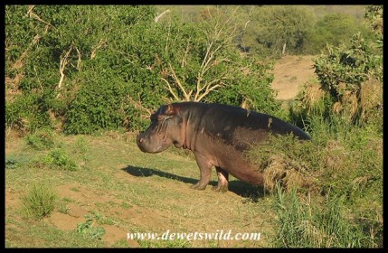 It is unusual to find hippos moving around on land during daylight