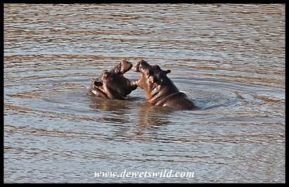 Playful baby hippos