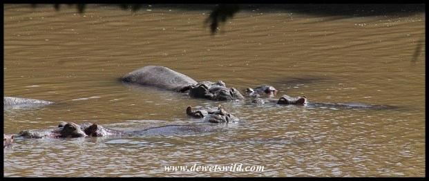 Hippos lazing in the water
