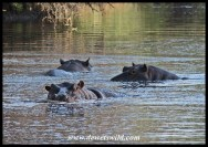 Hippos in a deep pool