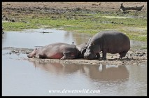 Hippos baking on a sandbank