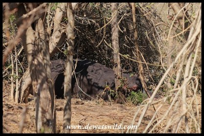 Hippo hiding in the shade of a bush