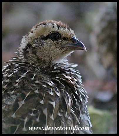 Natal Spurfowl chick
