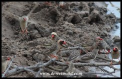 Red-billed Queleas