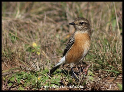 African Stonechat female