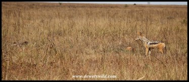 Black-backed Jackal nervously approaching the carcass