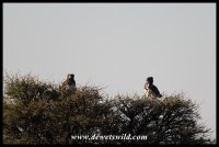 Black-chested Snake Eagles