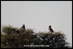 Black-chested Snake Eagles