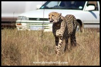 Cheetah female