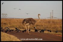 Ostrich and Pied Crows