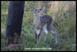 Reedbuck lamb