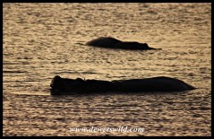 Hippos at sunset