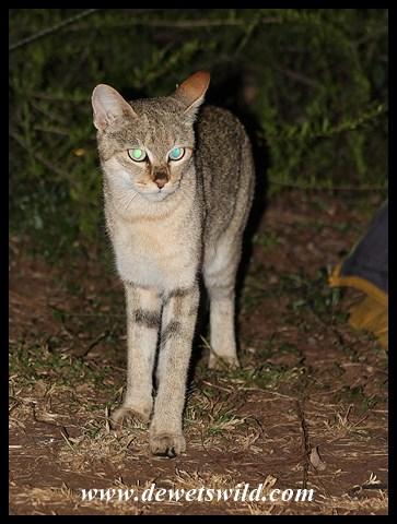 African Wild Cat visiting our campsite in Satara