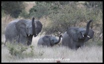 Wary elephant trio