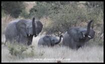Wary elephant trio