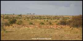 Huge herd of impala