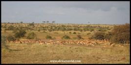 Huge herd of impala