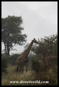 Giraffe in rainstorm