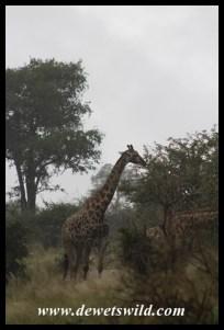 Giraffe in rainstorm