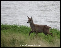 Waterbuck calf