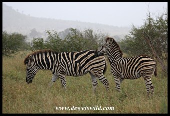 Plains Zebras caught in rainstorm